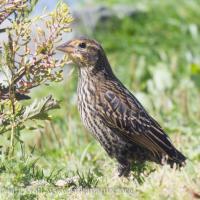 Immature Red-winged Blackbird