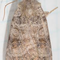 Unidentified Noctuid Moth