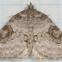 George's Carpet Moth (Plemyria georgii)