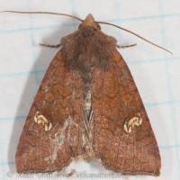 Americian Ear Moth (Amphipoea americana)