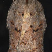 Hook-winged Tortrix (Acleris effractana)