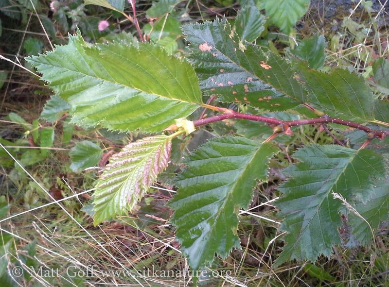 New leaves on Sitka Alder
