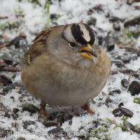 Banded White-crowned Sparrow