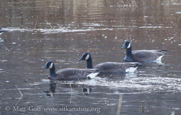 Canada Geese (including Lesser Canada?)