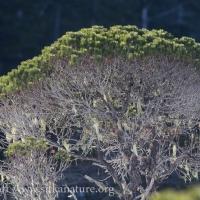 Shore Pine in the Sun