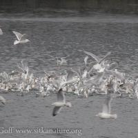 Gull Feeding Frenzy