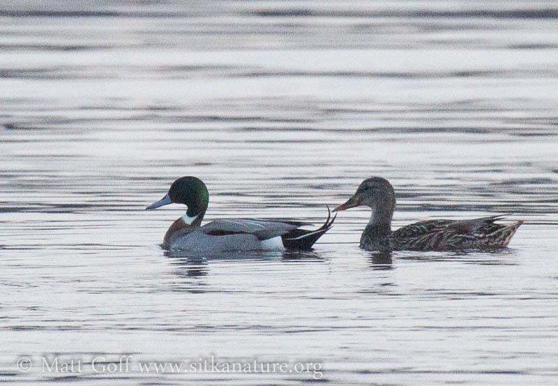 Hybrid Duck