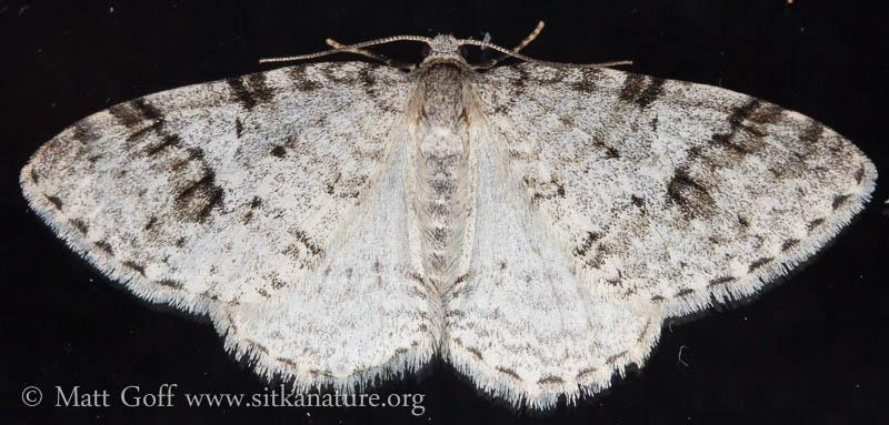 Carpet Moth (Venusia sp)