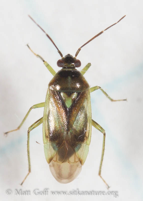 Orthops scutellatus
