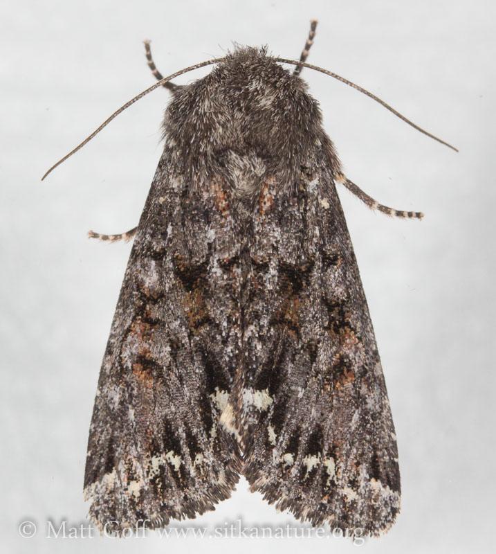 Melanchra pulverulenta (unconfirmed)