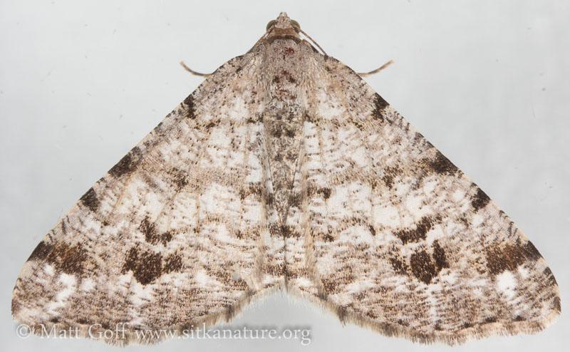 Pale-marked Angle Moth (Macaria signaria)