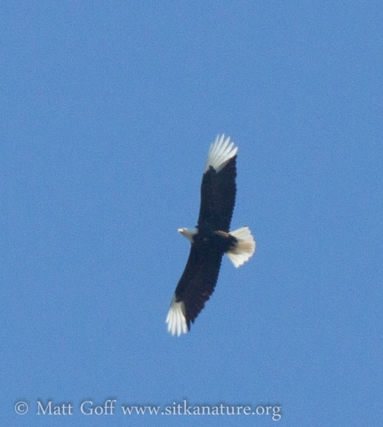 Bald Eagle with White Primaries