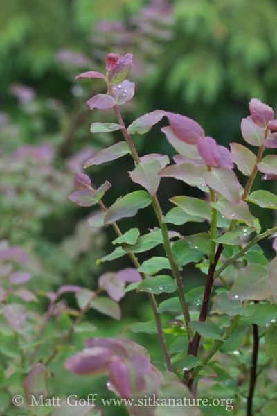 New Growth on Huckleberry