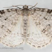 Carpet Moth (Venusia sp)