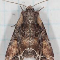 Nevada Arches Moth (Lacanobia nevadae)
