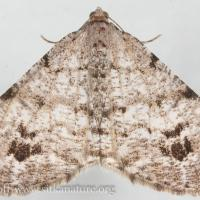 Pale-marked Angle Moth (Macaria signaria)