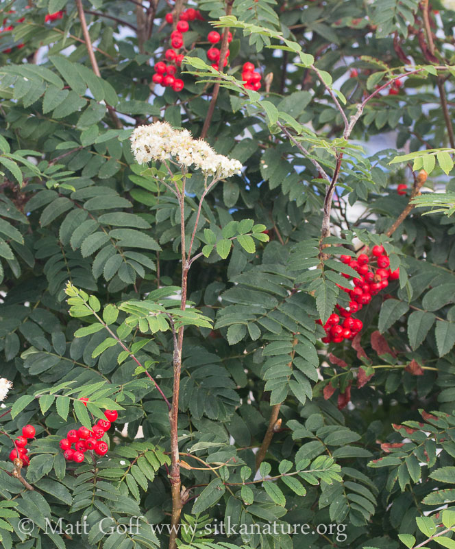 Mt. Ash Flowers and Fruit