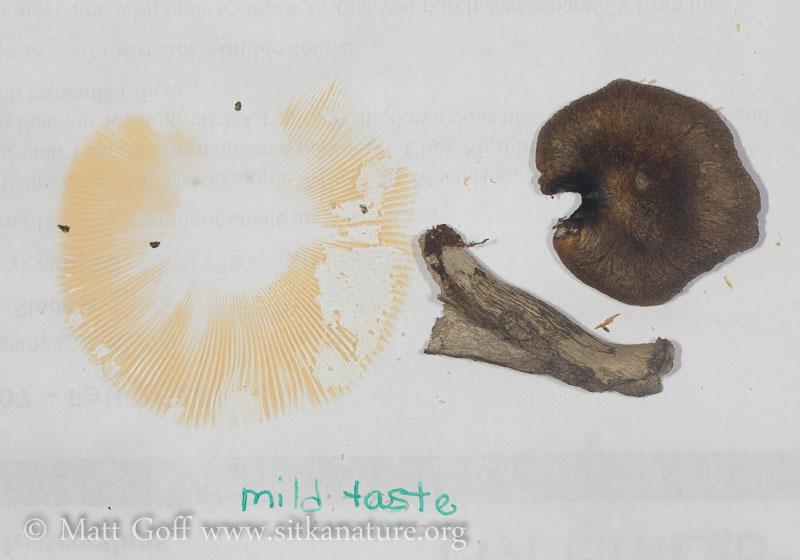 Spore Print of Russula