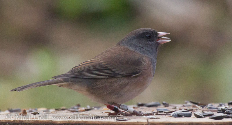 Banded Dark-eyed Junco