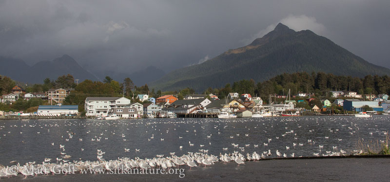 Gulls and the Channel