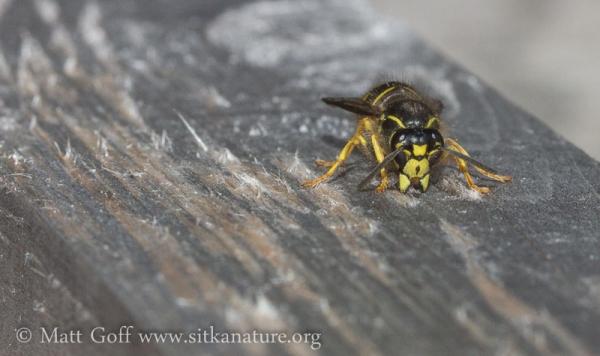 Yellowjacket (Dolichovespula sp) Gathering Wood Fiber
