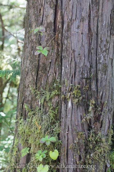 Ground Dogwood Growing from Yellow Cedar