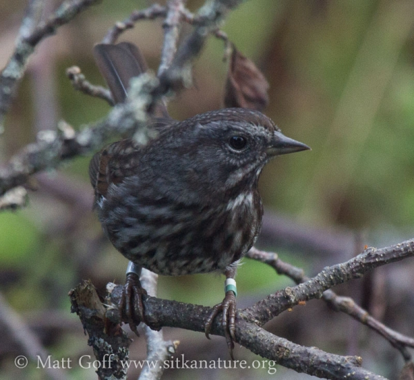 Banded Song Sparrow