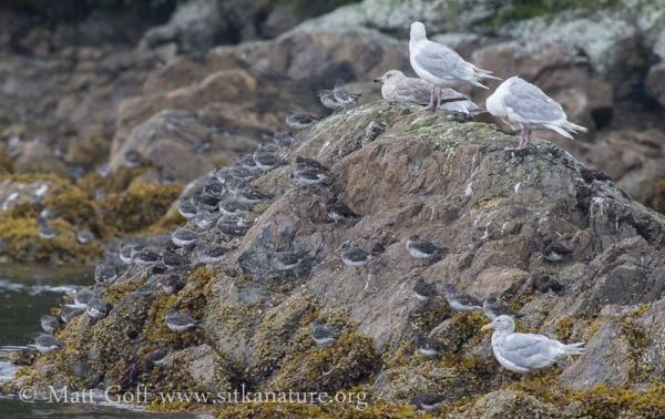 Shorebirds and Gulls