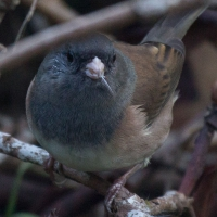 Feeding Dark-eyed Junco