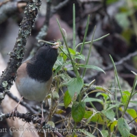 Dark-eyed Junco eating Willowherb Seeds