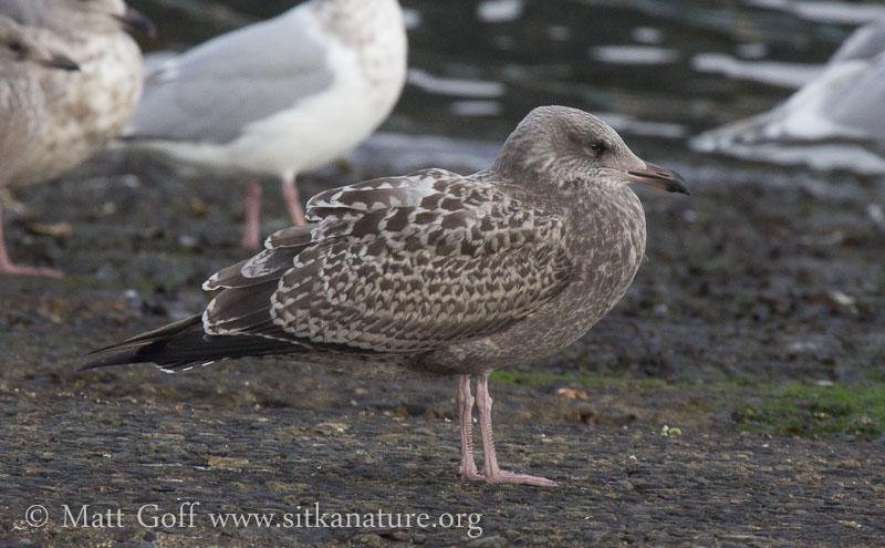 Juvenile Herring(?) Gull