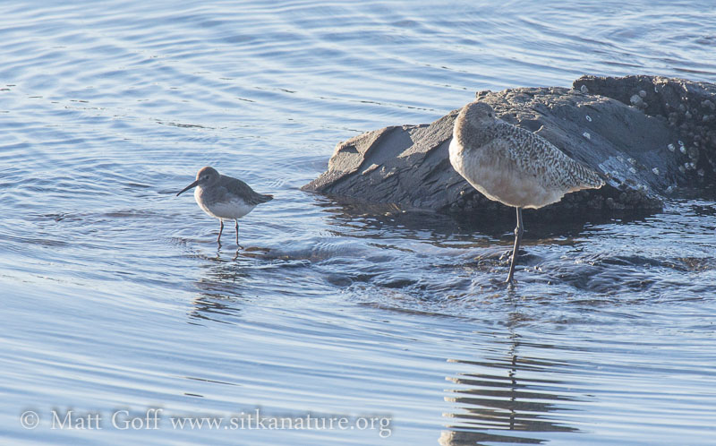 Late Fall Shorebirds