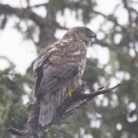 Immature Northern Goshawk