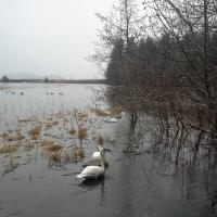 Trumpeter Swans along the Estuary Life Trail