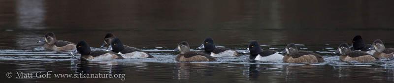Ring-necked Ducks on Swan Lake
