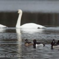 Ring-necked Ducks and Trumpeter Swans