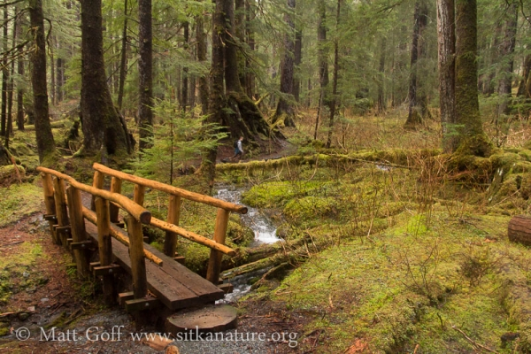 Bridge in Old Growth Forest