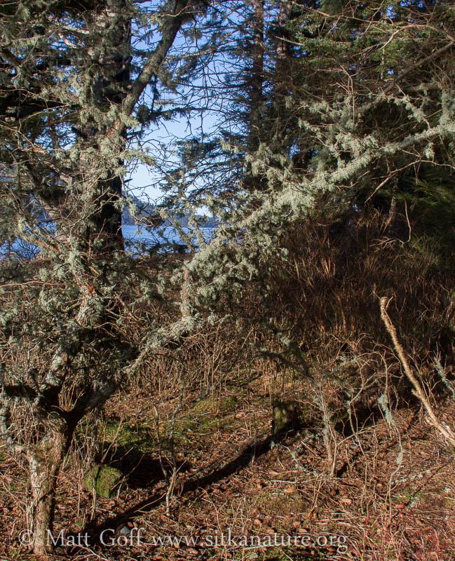 Epiphytic Lichens