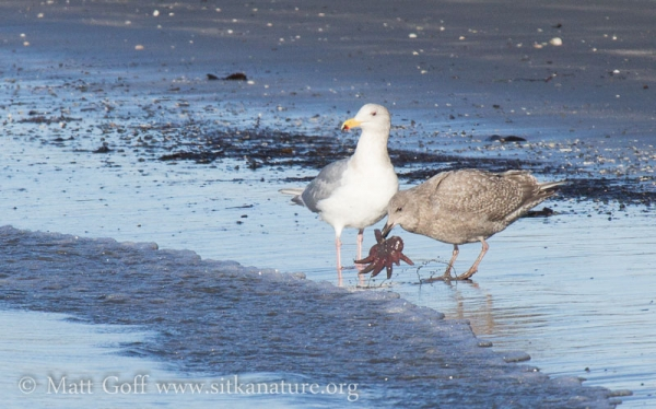 Young Gull with Small Sunstar
