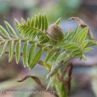 Young Vetch (Vicia nigricans)