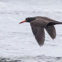 Black Oystercatcher in Flight