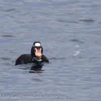 Surf Scoter with Mussel