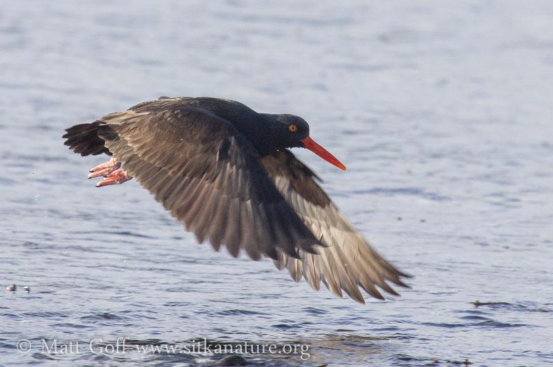 Black Oystercatcher in Flight