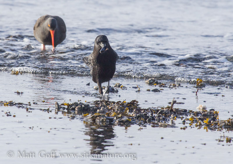 Northwestern Crow with Mussel