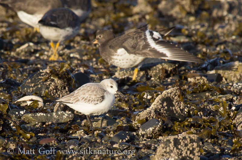 Sanderling with Surfbirds
