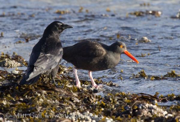 Northwestern Crow and Black Oystercatcher
