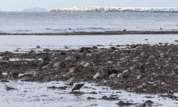 Northwestern Crows and Black Oystercatchers