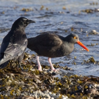 Northwestern Crow and Black Oystercatcher