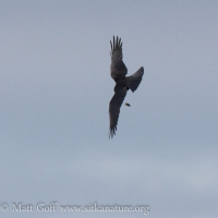 Northwestern Crow Dropping Food