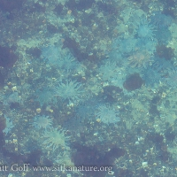 Underwater Sunstars (Pycnopodia helianthoides)